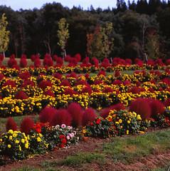 Line Up (Purple Field) Tags: red flower color 6x6 film japan zeiss square iso100 fuji hasselblad velvia carl  medium   gifu f40  100f 500cm sonnar  150mm   rvpf   hirugano   kochia   analgo
