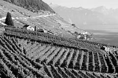 harvest time (overthemoon) Tags: bw lake mountains landscape schweiz switzerland village suisse unescoworldheritagesite vineyards svizzera léman vaud lavaux romandie