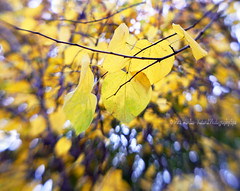 Fall Bokeh (NaturalPhotographySpa) Tags: autumncolors autumnsun brightyellow autumnbokeh lensbabycomposer fallsunlight
