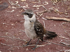 DSC09425 (beech22) Tags: bird animal ecuador mockingbird rbida galpagosislands galpagosmockingbird dschx1