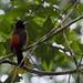 Avifauna (Parque Metropolitano Panamà) (2)