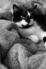 Well She's Comfortable... (Kasey Specian) Tags: blackandwhite cat catnap misfit tuxedo blanket punkin blackandwhitecat