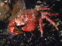 Pilumnus hirtellus (Centro Sub Monte Conero) Tags: mar mediterraneo mare centro crab muck conero numana nord sabbia adriatico ancona granchio sirolo pilumnus peloso benthos crostaceo hirtellus