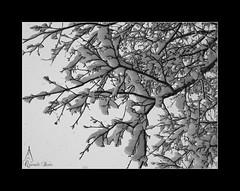 Branques plenes de neu (Queralt jqmj) Tags: winter blackandwhite bw snow hiver nevada bin invierno blanc andorra neu niege blancinegre hivern santjuli