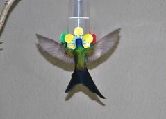 beija-flor (Osvaldo Natal Forcelli) Tags: brasil brazil campinas sudeste southamérica américadosul beijaflor colibri aves jardimchapadão sãopaulo cute photography pretty cool sweet nice bonito fotografia legal agradável
