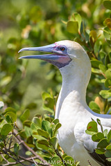 Red-footed Booby (Adam R. Paul) Tags: bird nature animal belize centralamerica redfootedbooby halfmooncaye sulasula sulapatirroja