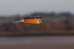 Grouin du Sud (Helodie) Tags: oiseau bird faucon crecerelle montsaintmichel grouin du sud normandie baie sunset epic