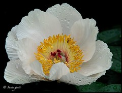 WHITE PEONY AWASH IN RAINDROPS (susies.genii) Tags: newyork flower macro blackbackground bronx raindrops nybg newyorkbotanicalgarden whitepeony outdoorgarden wetwithrain spring2012