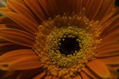 Red-1062 (Michigan Transplant) Tags: flowers red gerbera nikonflickraward nikond5100