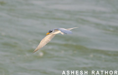 River Tern (asheshr) Tags: india bird nikon tern rivertern cuttack birdsfishing mahanadi rivermahanadi odisha d5100