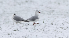 blackheaded gull (Alchimi) Tags: snow bird wales gull llanelli