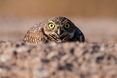 Burrowing Owl (ausmc_1) Tags: arizona usa bird desert dec owl yuma 2012 burrowingowl burrowing nikon300f4 highqualityanimals nikon14tce