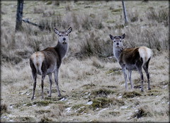 Red Deer Hinds - Scottish Highlands (Ally.Kemp) Tags: red wild female scotland highlands scottish deer hind hinds