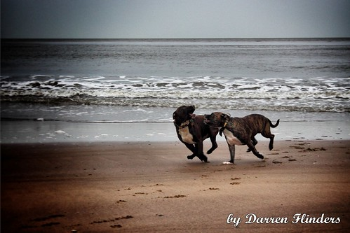 Playing Staffies At Whitby