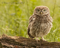 Just another Little Owl (Stuart G Wright Photography) Tags: