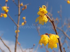 looking up to wintersweets under the blue sky and waiting for spring (photoholic image) Tags: winter sky yellow branch bokeh bluesky petal bud chimonanthus wintersweet winterflower voigtalandernokton25mmf095 waxypetal