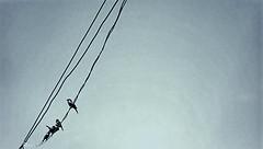(hasmik.hakobyan) Tags: birds sparrow sky wire nature animal blue black outdoor