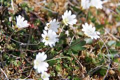 Arctic Mouse-ear (Marshall Manson) Tags: 2016 dates europe generalcategories mmforexport norway places svalbard vacation arcticmouseear arcticflora flora isfjorden regelschickweed skansbukta