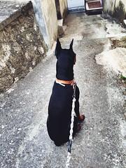#Aron #Dog #Dobermann #love #photo #picture #animals #black #color (giuseppetalotta) Tags: aron dog dobermann love photo picture animals black color