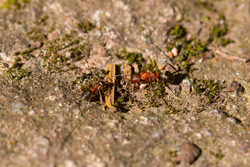 Fourmis rouges (Myrmica rubra)