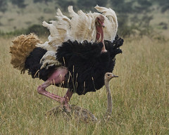 Male and Female Ostrich (paulinuk99999 - just no time :() Tags: paulinuk99999 nairobinationalpark kenya ostrich male female mating dance ritual full plumage sal70400g