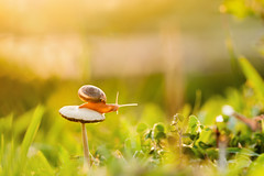Sên trong chiều nắng (Le Anh The) Tags: snail mushroom sunlight sunset color canon macro macrodreams macrophotography macroword flickrsbest orange green nature canon40d insect wildlife vietnam closeup
