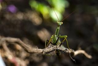 Mantis Religiosa (Louva-a-deus)