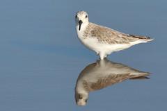 Sanderling (Calidris alba) (s_uddin59) Tags: hunakai sanderling kahuku kahukushrimpponds reflection shorebird oahu northshore hawaii stare calidrisalba nonbreeding staredown