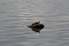 img_101-4182 (Mark Eichin) Tags: turtles narapark acton splash massachusetts