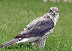 Azor Común / Northern goshawk / Accipiter gentilis (vic_206) Tags: bird canoneos7d canon300f4liscanon14xii azorcomún northerngoshawk accipitergentilis