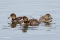 Juvenile Scaups D50_3432.jpg (Mobile Lynn) Tags: birds scaup wild ducks nature anseriformes bird fauna wildlife estuaries freshwater lagoons lakes marshes ponds waterfowl webbedfeet hurst england unitedkingdom gb