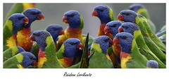 Rainbow Lorikeets (PhotoArt Images (away)) Tags: australianwildlife australia photoartimages birds colorfulbirds rainbowlorikeet