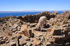 Llama grazing on Isla del Sol on Lake Titicaca / Bolivia (ANJCI ALL OVER) Tags: bolivia southamerica americasur andes latinamerica laketiticaca titicaca lagotiticaca isladelsol sunisland