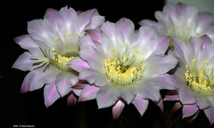 Echinopsis (Paolo Bonassin) Tags: flowers cactaceae cactacee cactus succulente echinopsis