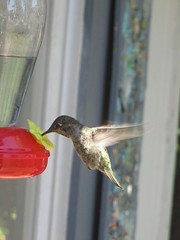A hummingbird that I call Vortex... (yet jeff) Tags: ahummingbirdthaticallvortex vortex hummingbird nature bird flight hover hovering birdwatching wings winged intheair birdfeeder cute zfthrimej thrimej creature animal fast blur blurry porch outside outdoors zf feathered featheredfriend feathers feathery high adorable small midair flying friendly cool free wild wildlife