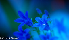 blue world (frederic.gombert) Tags: flower flowers light blue sun macro macrodreams greatphotographers nikon d810 garden plant sunlight color colorful