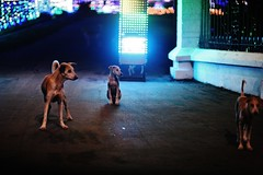 The Governor's Bitches (N A Y E E M) Tags: dogs stray street latenight circuithouse entrance light decoration bokeh gmroad chittagong bangladesh carwindow availablelight