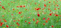 Aberdeen City Wild Flowers (Ian Jackson 1974) Tags: aberdeen colours wildflowers ian 2016 august red white yellow blue green poppies garden city urbannature nature scotland