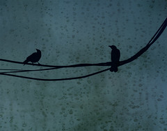 like a bird on a wire (dotintime) Tags: bird crow wire utility electricity rain gloaming evening pair duet duo couple two dotintime meganlane