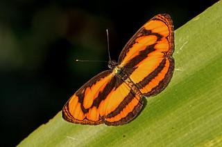 Pantoporia paraka - the Perak Lascar