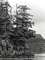 Hangin On (LornaTaylor) Tags: lornataylor taylorimagesca alaska copyright2008lornataylor lornataylorphotography landscape blackandwhite trees ocaean