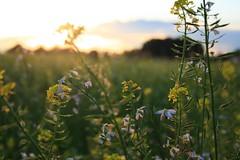 Late summer (_dankhn) Tags: summer sommer mnsterland mnster backlight field raps countryside atmosphere blossom sun light nrw nordrheinwestfalen germany deutschland northrhinewestphalia