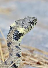 Grass snake , Natrix natrix (12)_filtered (Geckoo76) Tags: grasssnake snake natrixnatrix