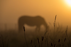 Horse in the Mist (Infomastern) Tags: sdersltt countryside dimma fog horse hst landsbygd landscape landskap mist soluppgng sunrise exif:model=canoneos760d geocountry camera:make=canon exif:isospeed=100 camera:model=canoneos760d geostate geocity geolocation exif:lens=efs18200mmf3556is exif:aperture=80 exif:focallength=185mm exif:make=canon