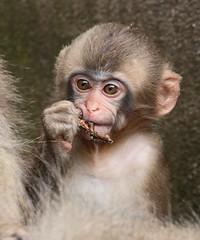 japanese macaque artis JN6A3299 (j.a.kok) Tags: makaak macaque japansemakaak japanesemacaque artis