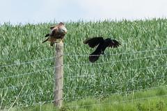 "Red Kite & Raven May 2016 ""An Encounter"" (2) (jgsnow) Tags: ravenredkite bird raptor redkite raven corvid conflict"