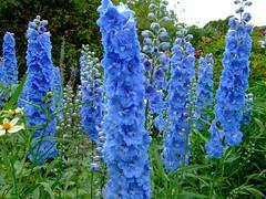 Delphinium (yewchan) Tags: flower flowers garden gardening blooms blossoms nature beauty beautiful colours colors flora vibrant lovely closeup delphinium delphiniums