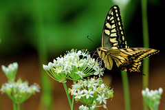 Female Yellow Swallowtail on Leek Flower : ( (Dakiny) Tags: 2016 autmn september japan kanagawa yokohama aoba ichigao outdoor nature field plant flower blossom leek scallion orientalgarlic chinesechives white creature animal insect bug butterfly swallowtail yellowswallowtail commonfemaleyellowswallowtail oldworldswallowtail yellow macro bokeh nikon d7000 sigma apo 70200mm f28 ex hsm apo70200mmf28exhsm sigmaapo70200mmf28exhsm nikonclubit