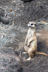 Meerkat Standing (bellemarematt) Tags: disney animal kingdom theme park florida wildlife mammal meerkat suricate suricata suricatta herpestidae mongoose zoo