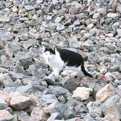Kissa kivikossa (neppanen) Tags: sampen discounterintelligence helsinki helsinginkilometritehdas suomi finland piv66 pivno66 reitti66 reittino66 kissa cat torpparinmki
